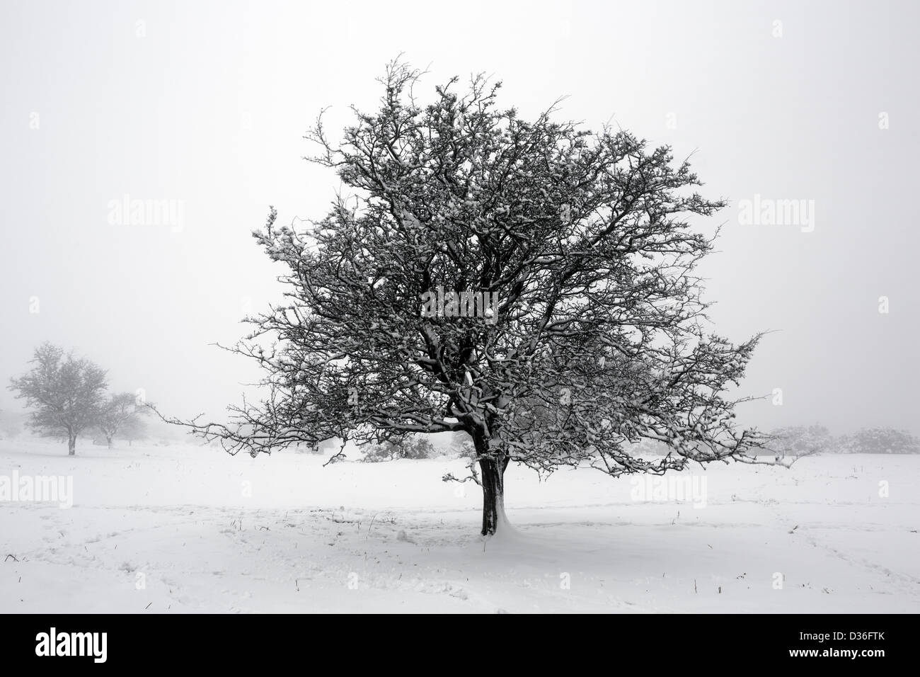 Small snow covered hawthorn tree in the mist on East Hill, Dartmoor National Park Devon Uk - Stock Image