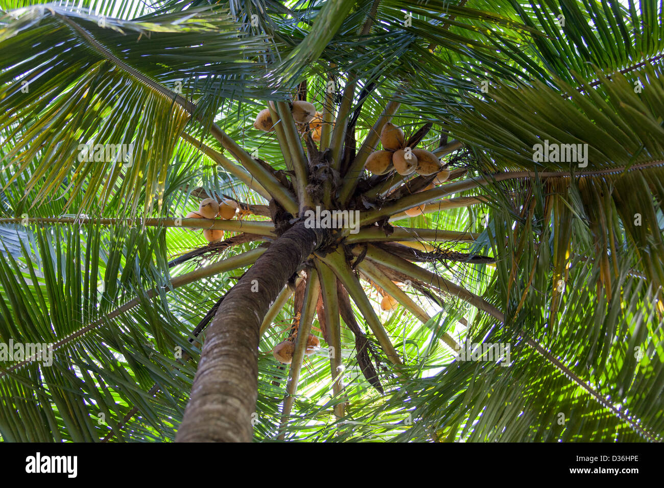Palm Treetop from Below - Stock Image