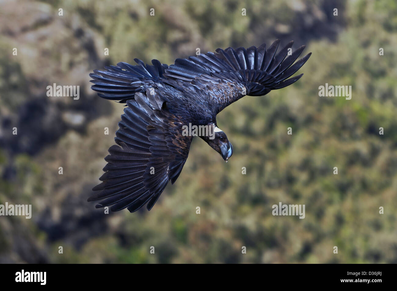 a Thick-billed Raven on the wing, Corvus crassirostris, Simien mountains, Ethiopia - Stock Image