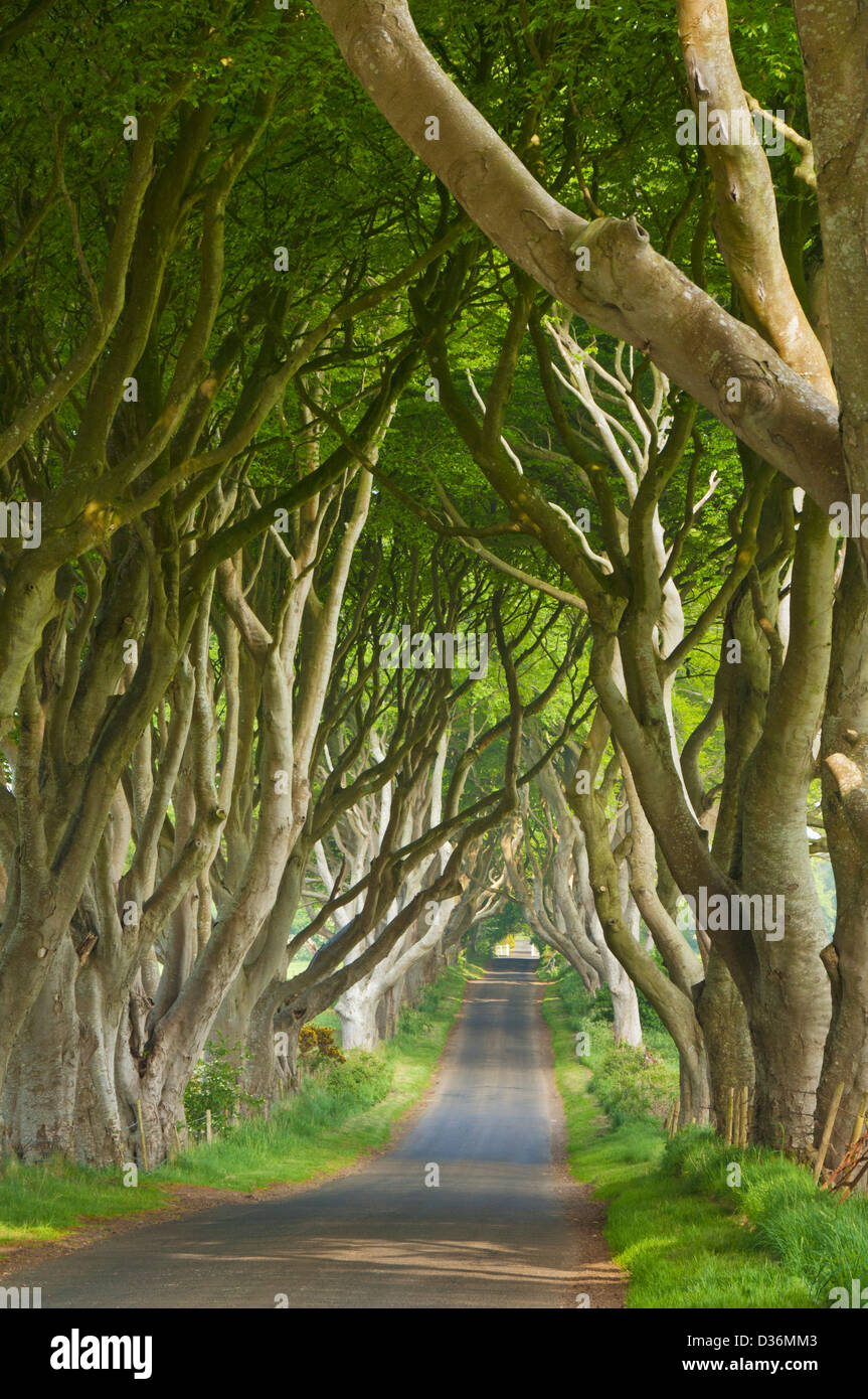 Beech tree lined road known as the Dark Hedges near Stanocum County Antrim Northern Ireland UK GB EU Europe - Stock Image