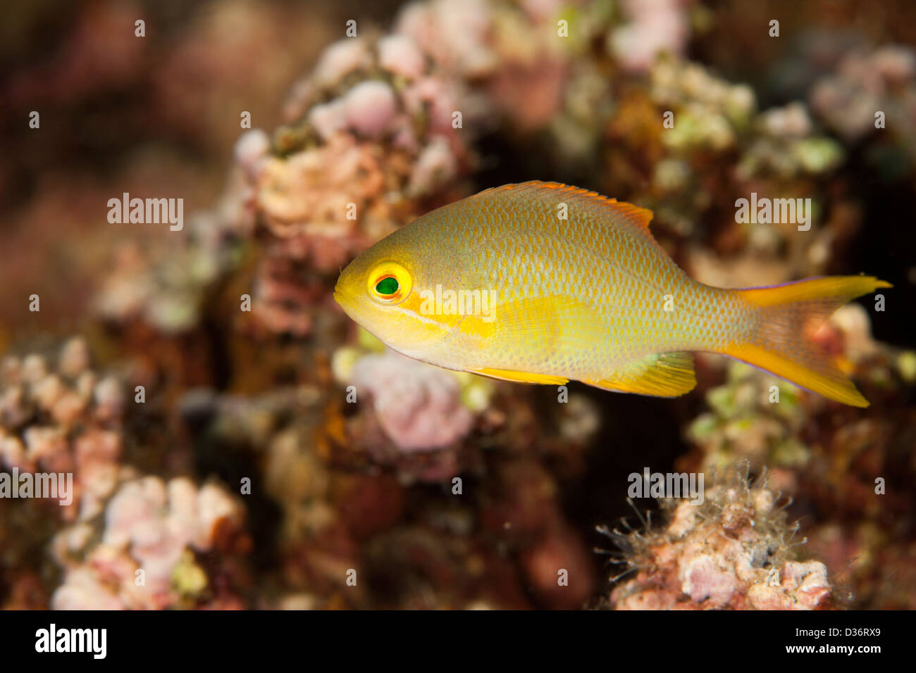 Scalefin Anthias (Pseudanthias squamipinnis), female on a tropical coral reef in Bali, Indonesia. - Stock Image