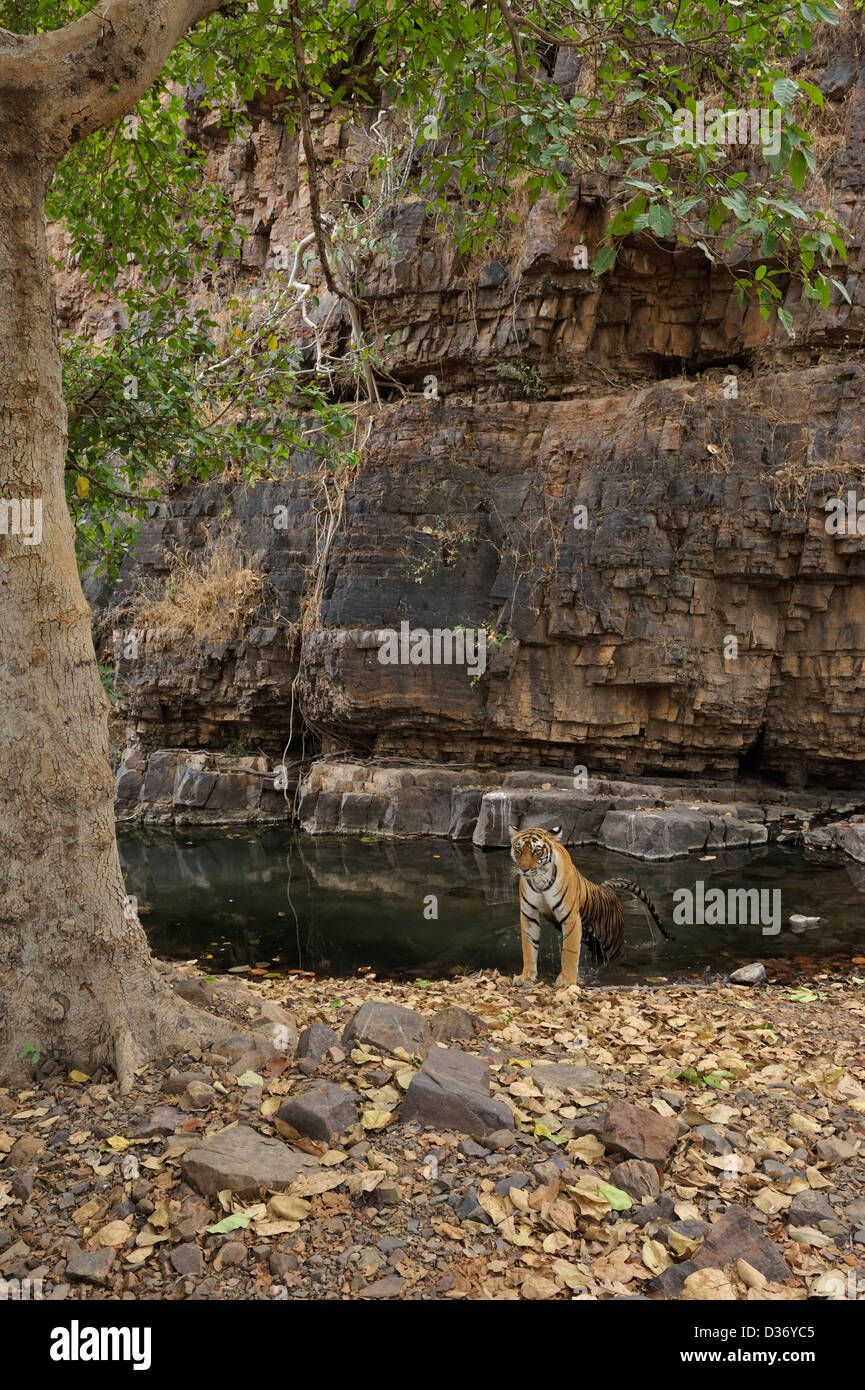 Wild tigress cooling off in a waterhole during Ranthambhore's hot summers - Stock Image