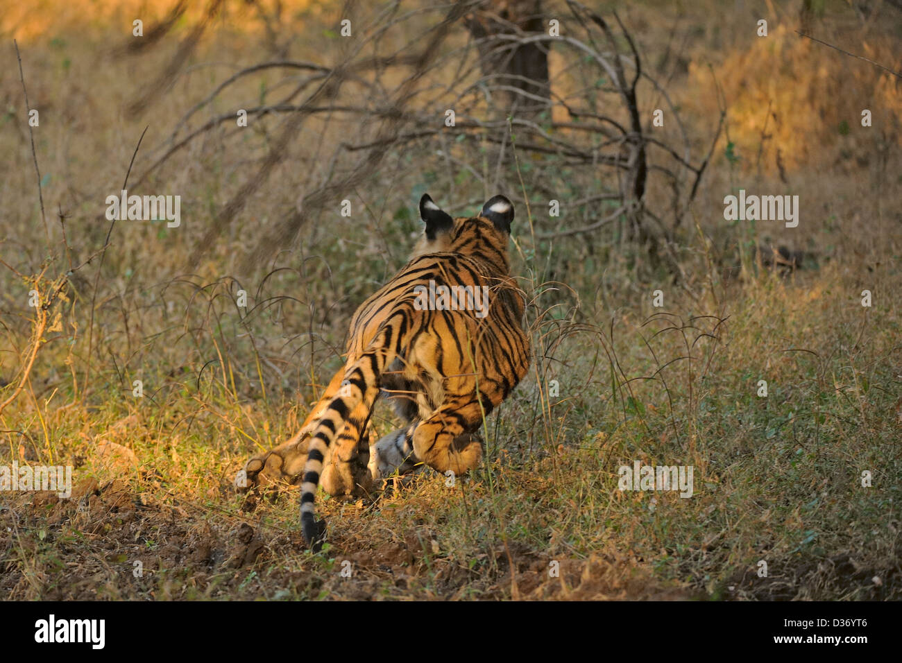 Charging wild tiger in Ranthambore national park - Stock Image
