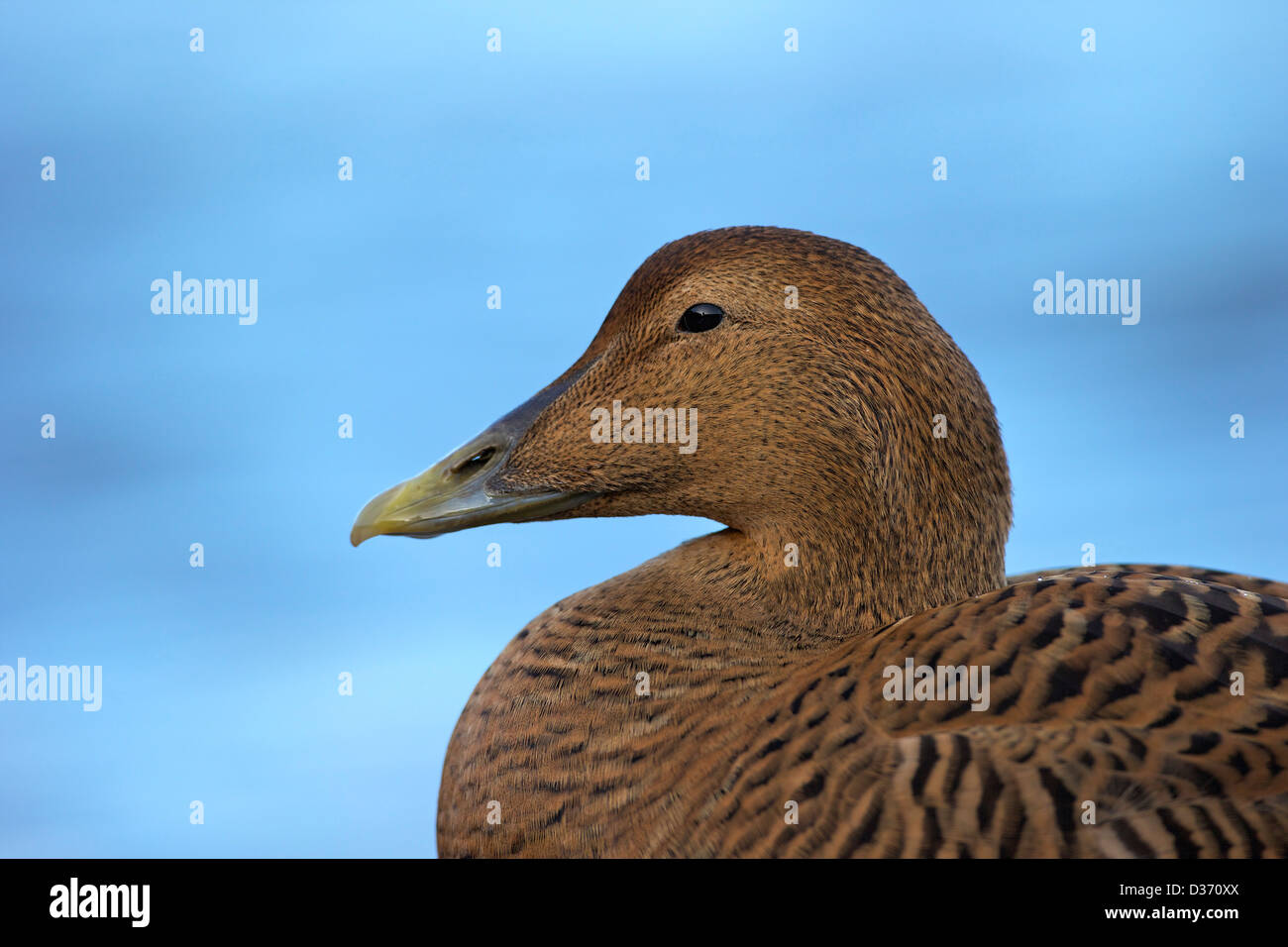 Common eider duck, Seahouses harbour, Northumberland, Northeast England, UK, GB - Stock Image