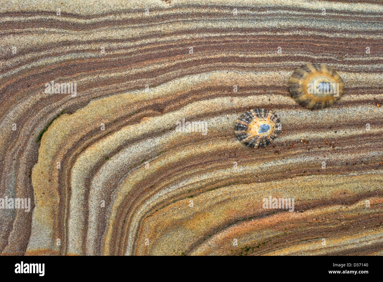 Limpet shells on sandstone rock, Northumberland, Northeast England, UK, GB - Stock Image