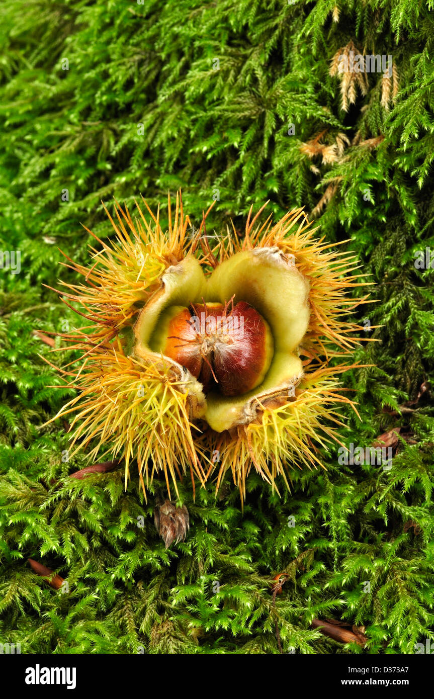 A sweet chestnut on a mossy log Stock Photo