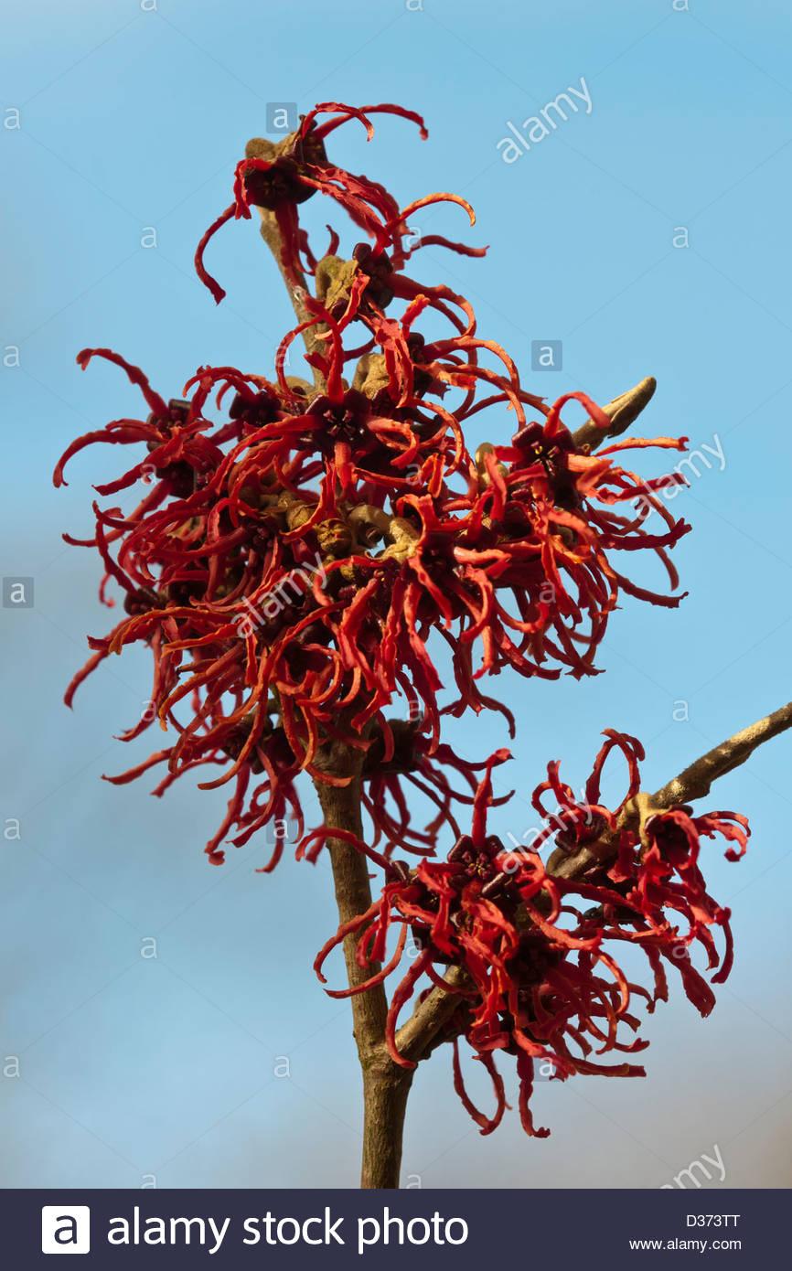Witchhazel Hamamelis X Intermedia Rubin Spring Flower Deciduous