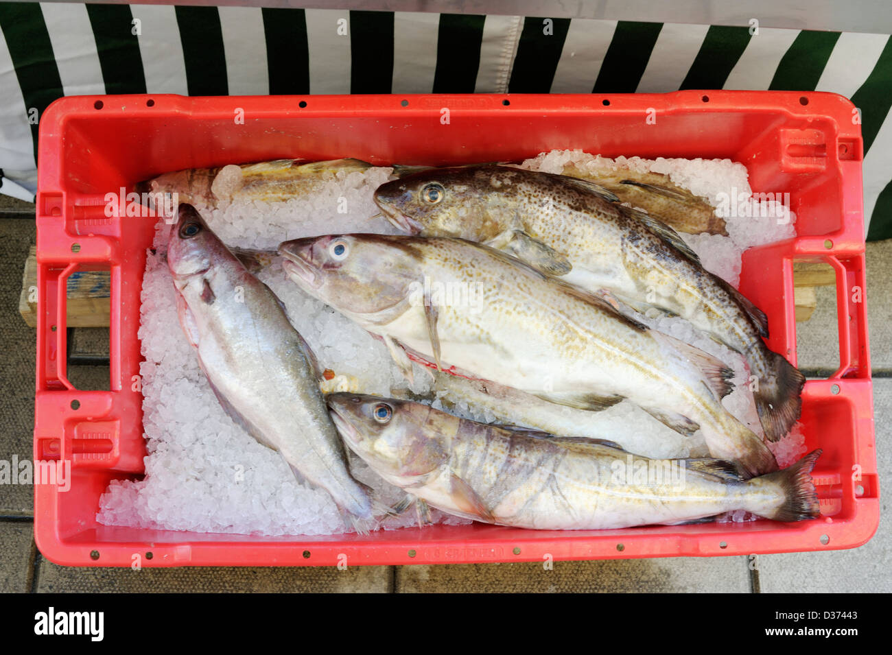 Atlantic cod, Gadus morhua and Pollack, Pollachius pollachius fish in a crate of ice at Aberystwyth farmers market, - Stock Image