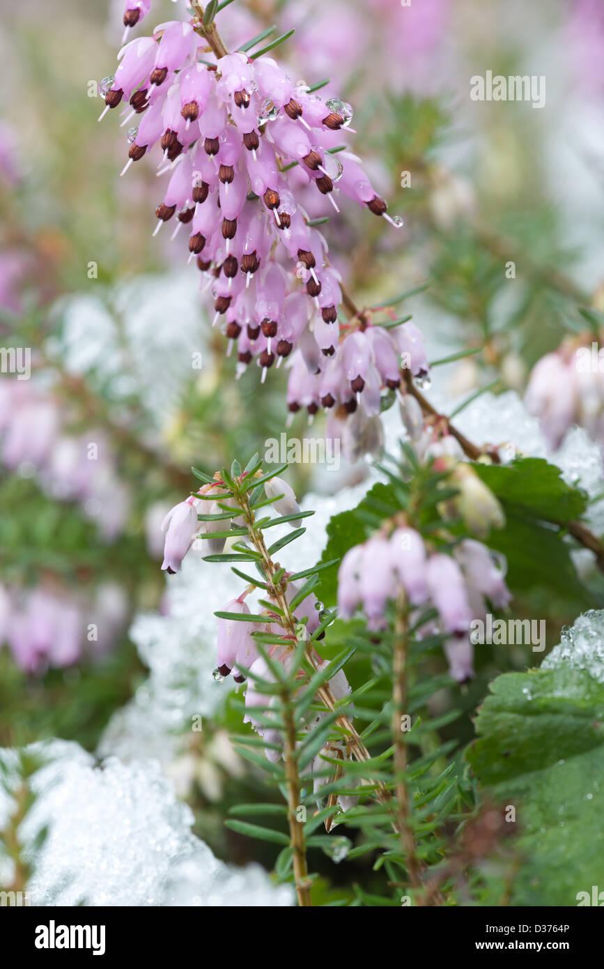Light Pink Heather Flower Close Up Stock Photos Light Pink Heather