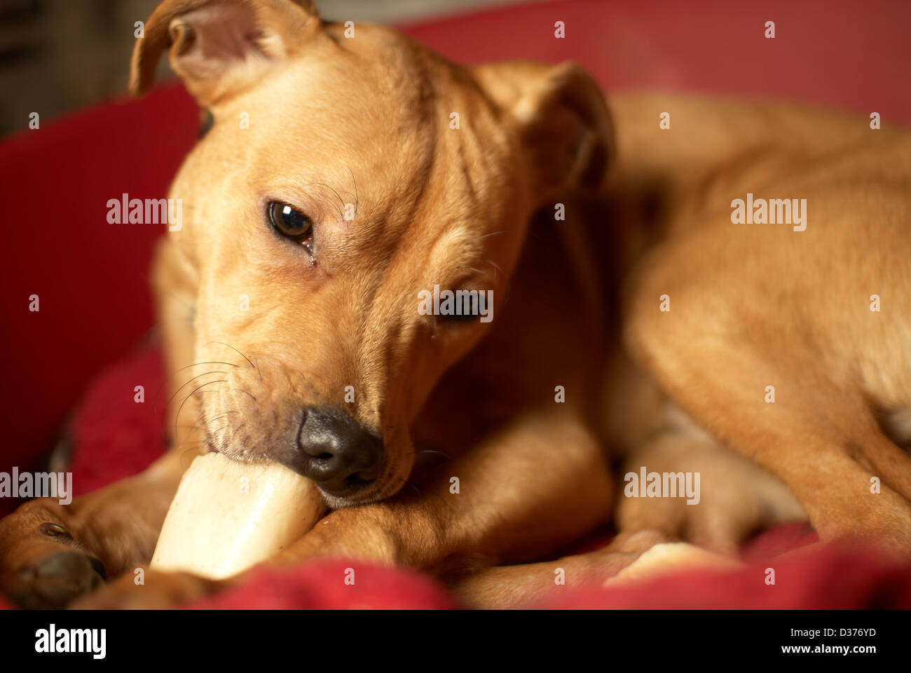 A Staffordshire Bull terrier dog enjoying gnawing on a bone - Stock Image