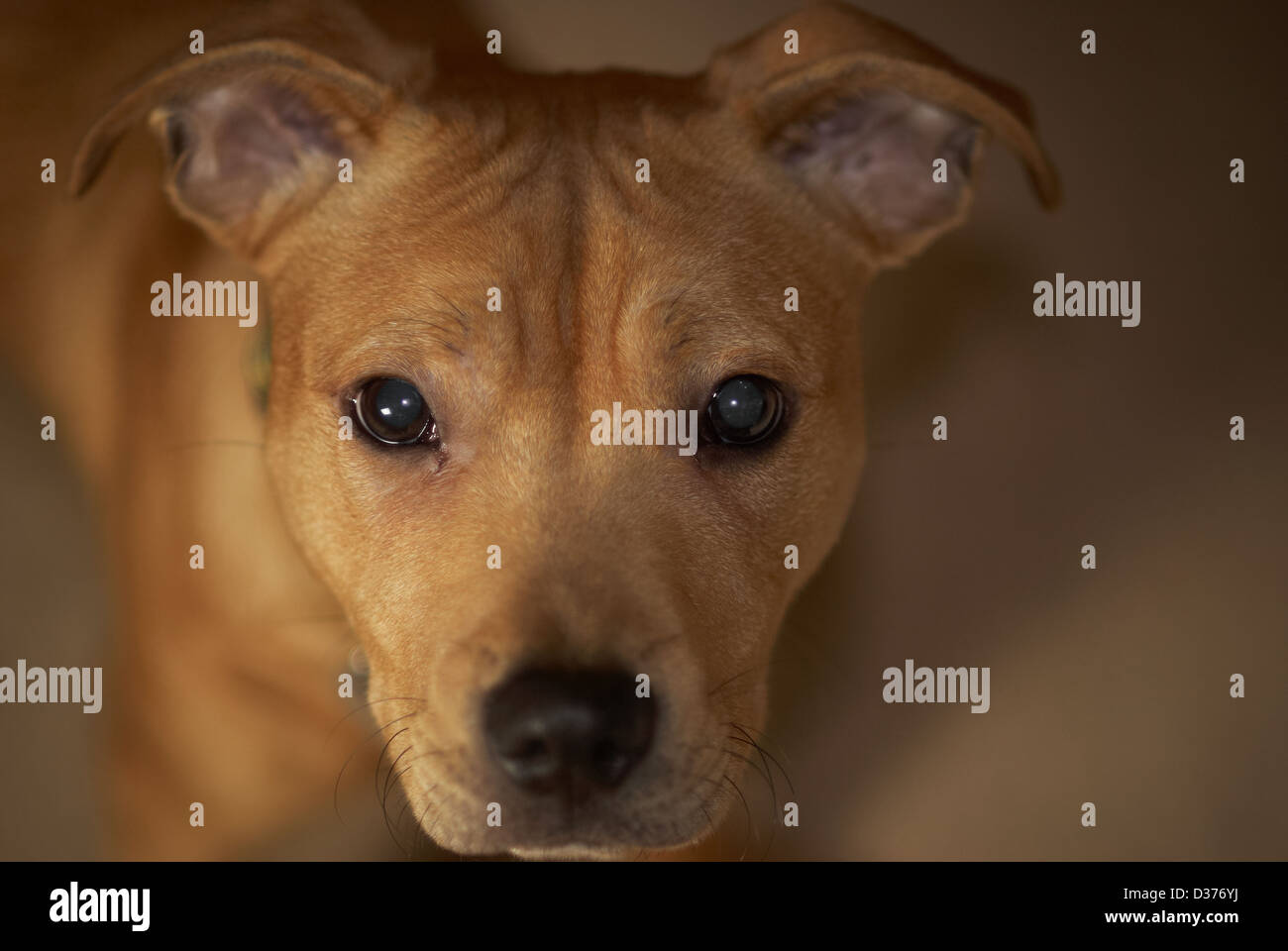 Golden Staffordshire Bull Terrier - Stock Image