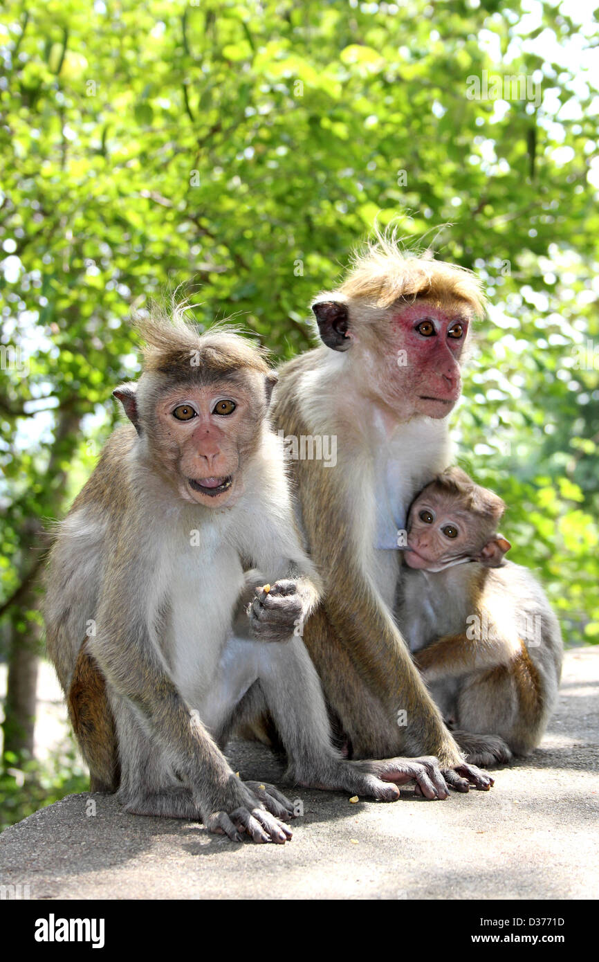 Family Toque Macaques - Stock Image