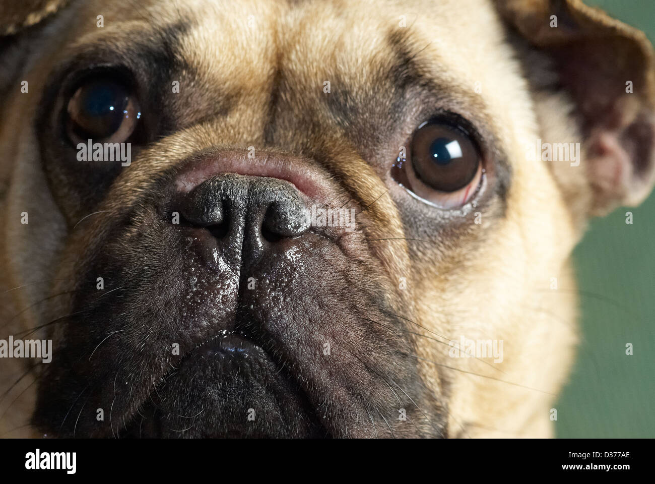 A Chinese pug nosed dog - Stock Image