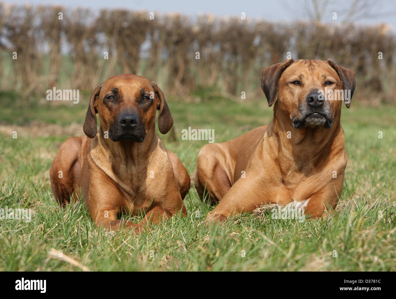 Dog Rhodesian Ridgeback / African Lion Hound two adults lying in a meadow - Stock Image