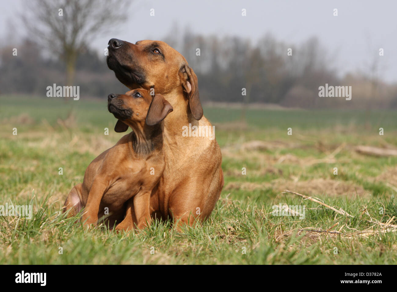 Dog Rhodesian Ridgeback / African Lion Hound  adult and puppy in a meadow - Stock Image