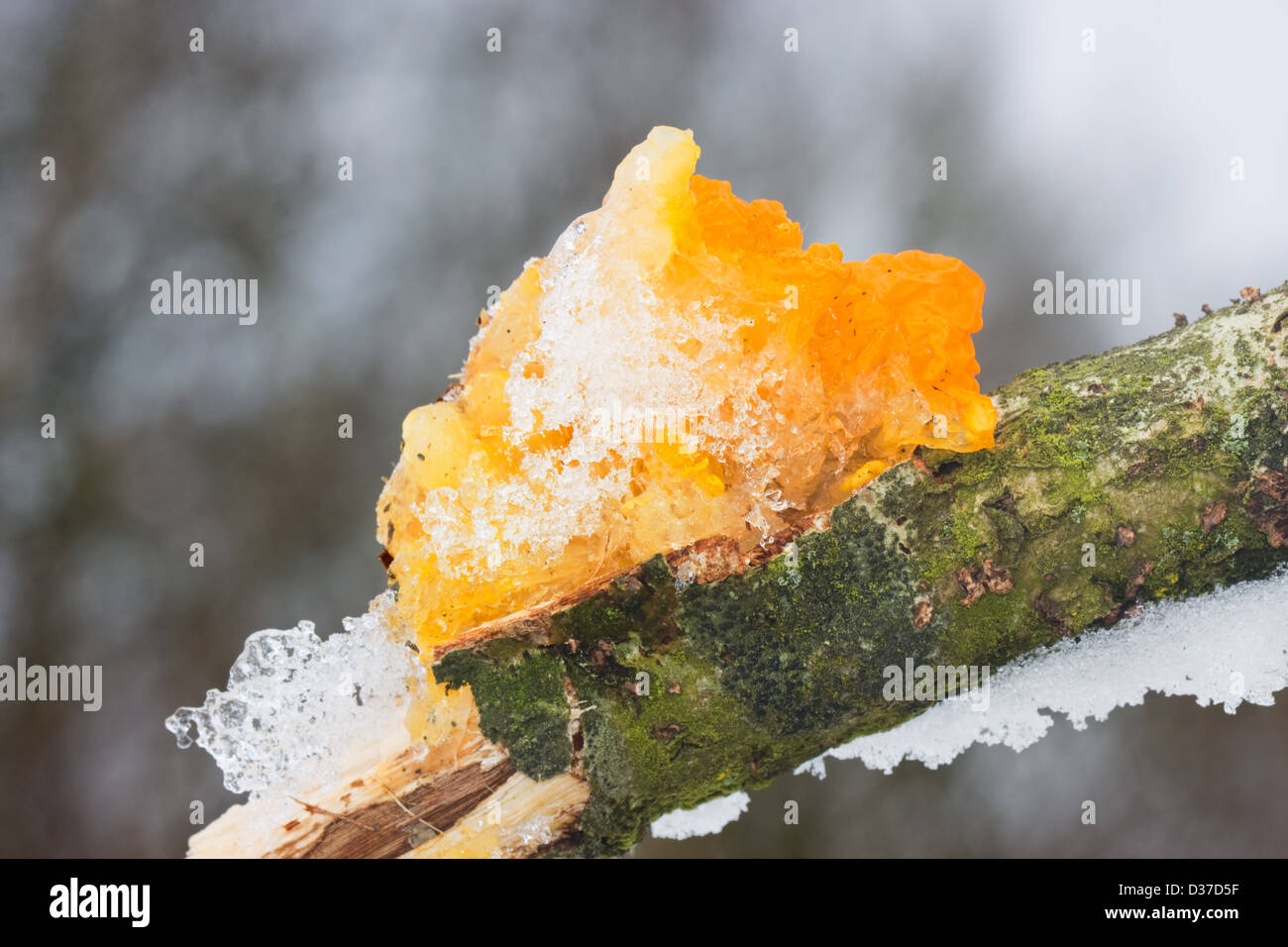 Yellow Brain Fungus or Golden Jelly Fungus (Tremella Mesenterica), covered with snow and ice, on Oak - Stock Image