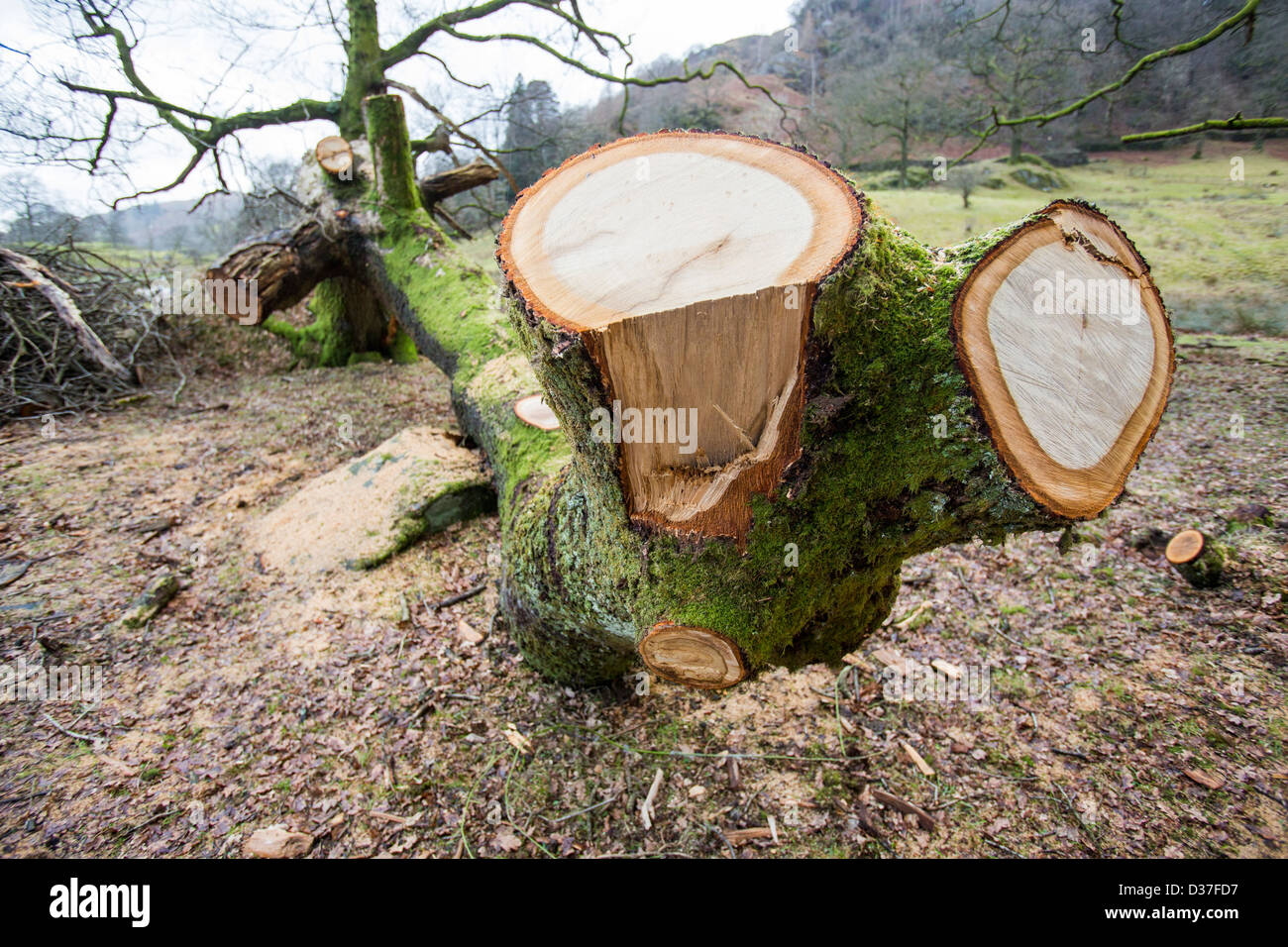 An old Oak tree blown over by gale force winds in Rydal, Lake District, UK. Stock Photo