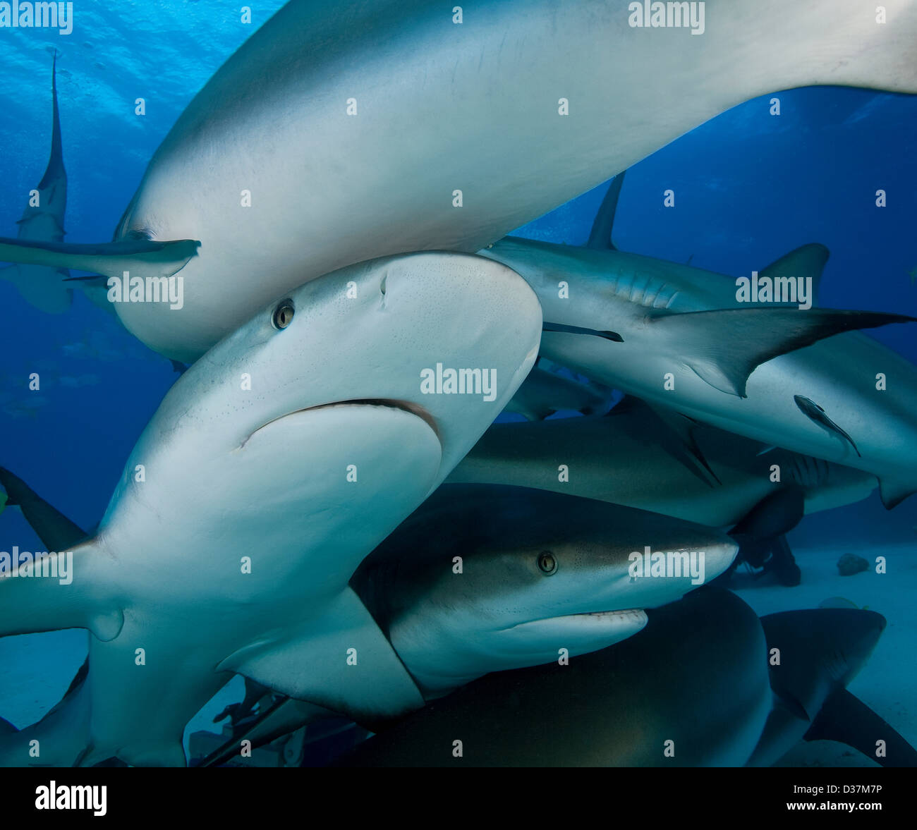 Reef sharks swimming underwater - Stock Image