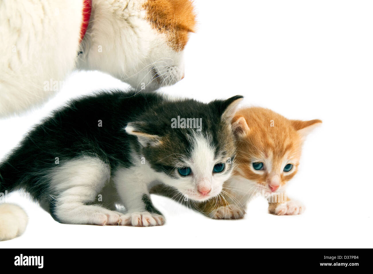 mother a cat looks after kittens - Stock Image