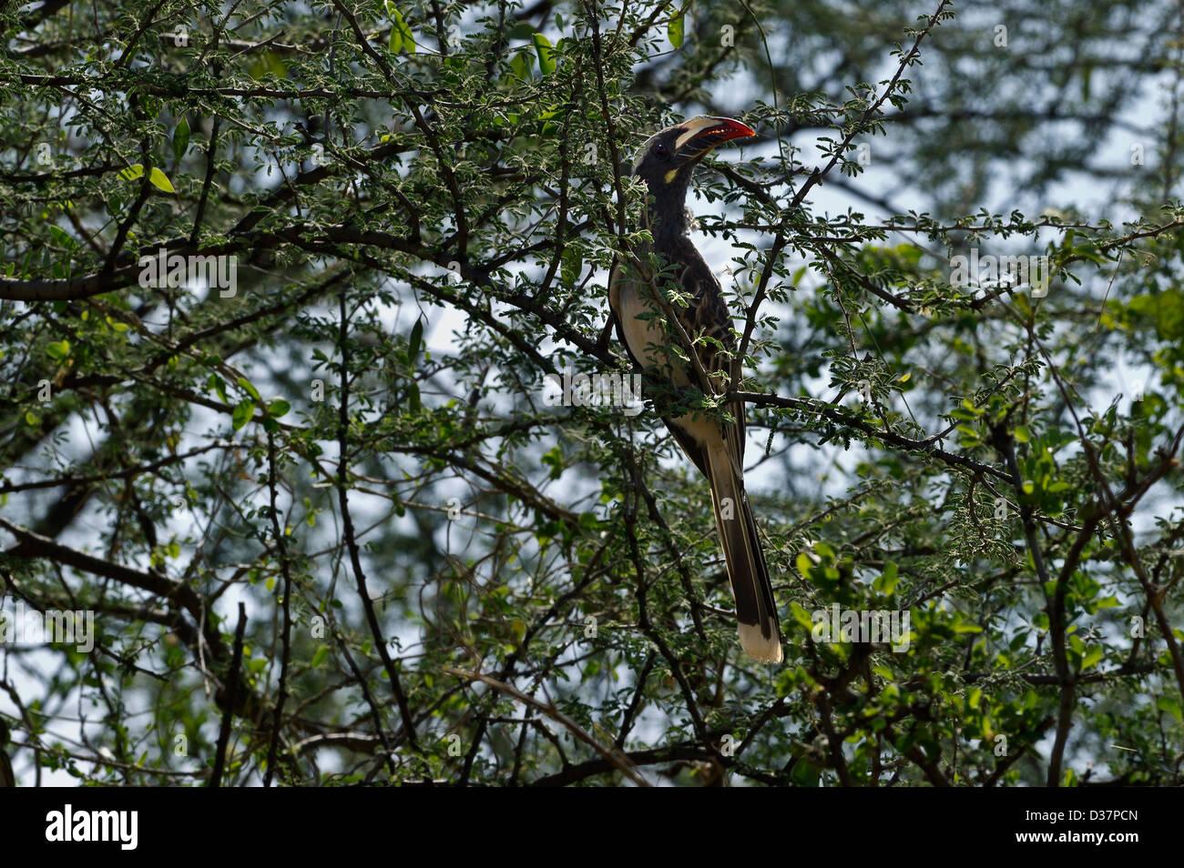 an African Grey Hornbill, Tockus nasutus, Awash NP, Ethiopia - Stock Image