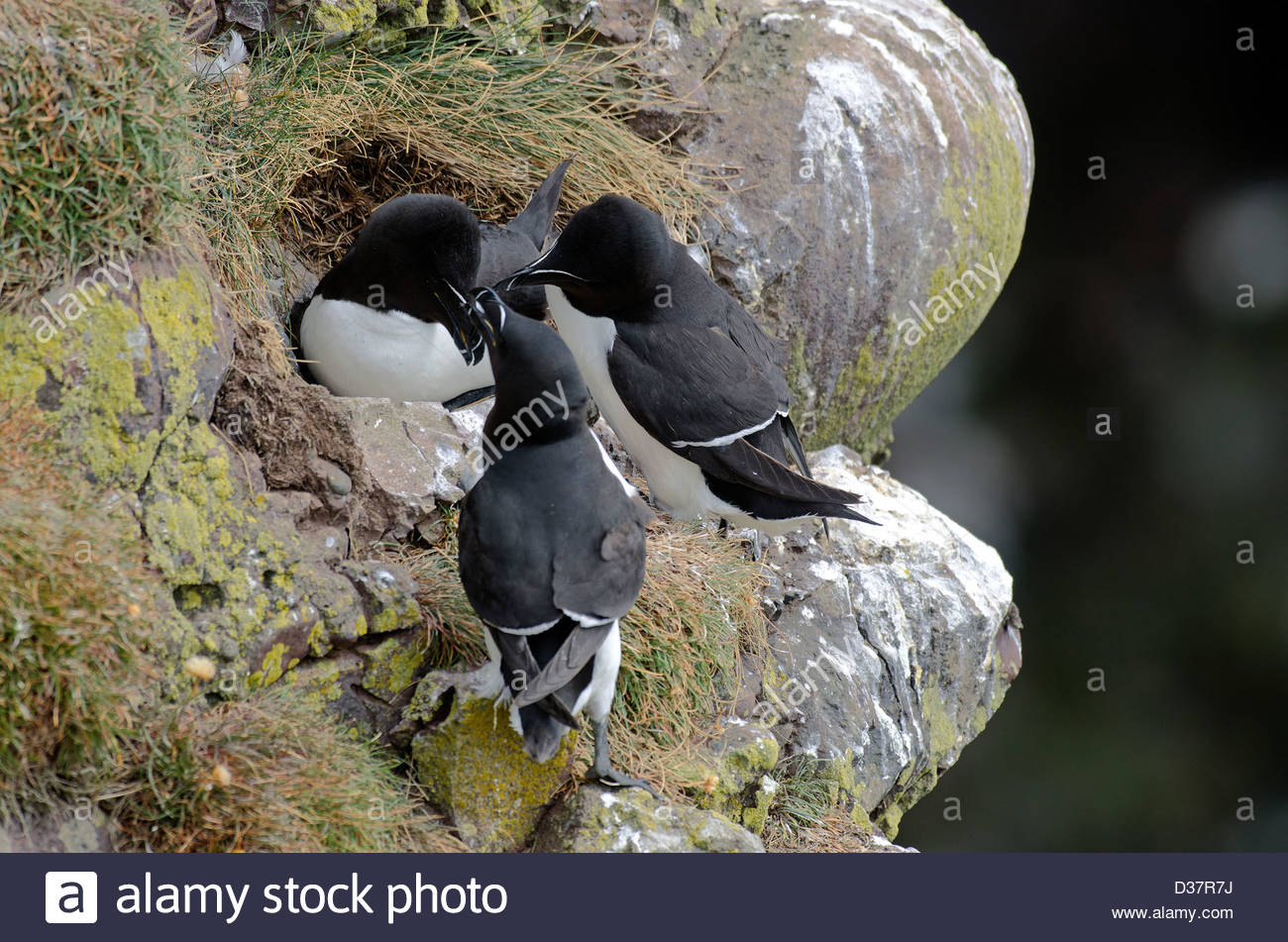 little Penguin, nest, adults, parades, Alca torda - Stock Image