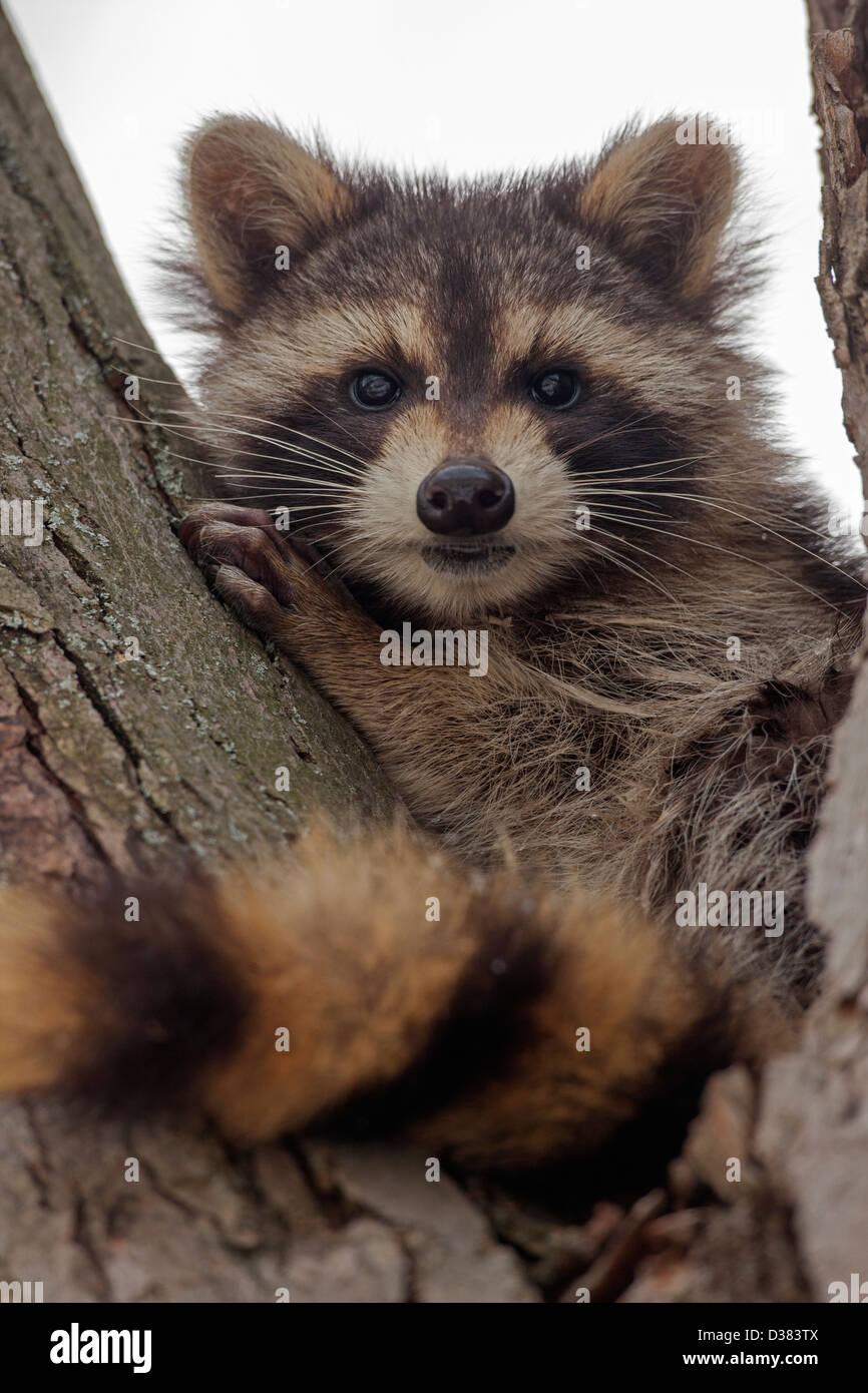 Raccoon In New York Stock Photos & Raccoon In New York Stock Images ...