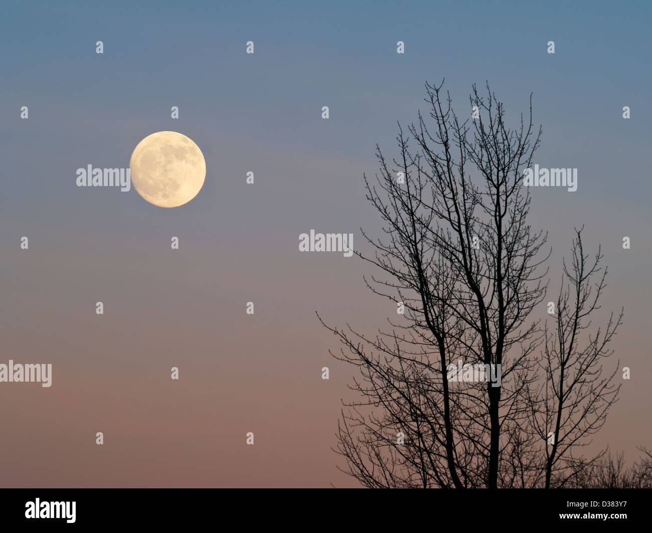 Full moon and bare sycamore tree. The moon has been digitally enlarged. - Stock Image