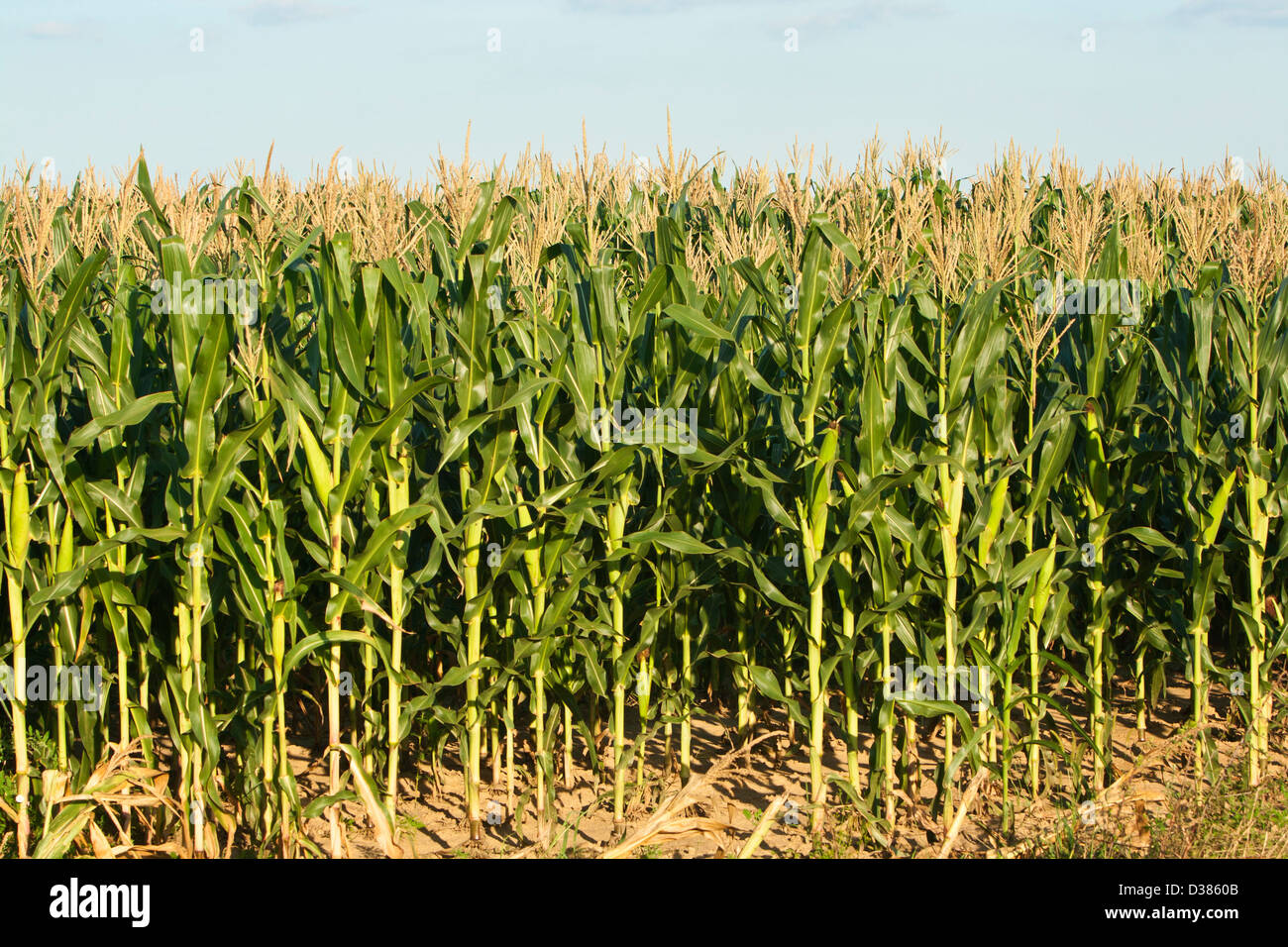 Corn, Maize (Zea mays) - Stock Image