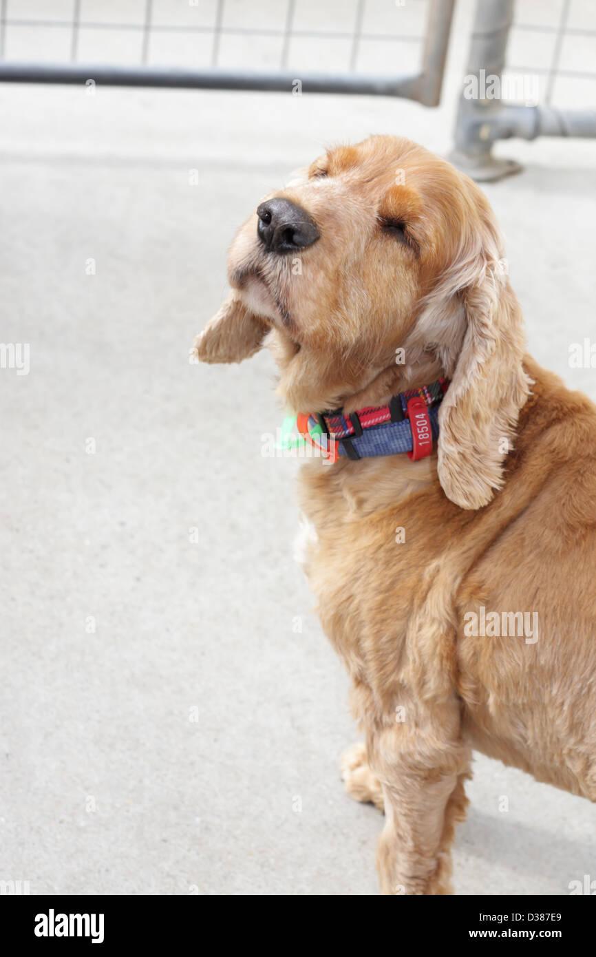 Cocker Spaniel Ready for Adoption - Stock Image
