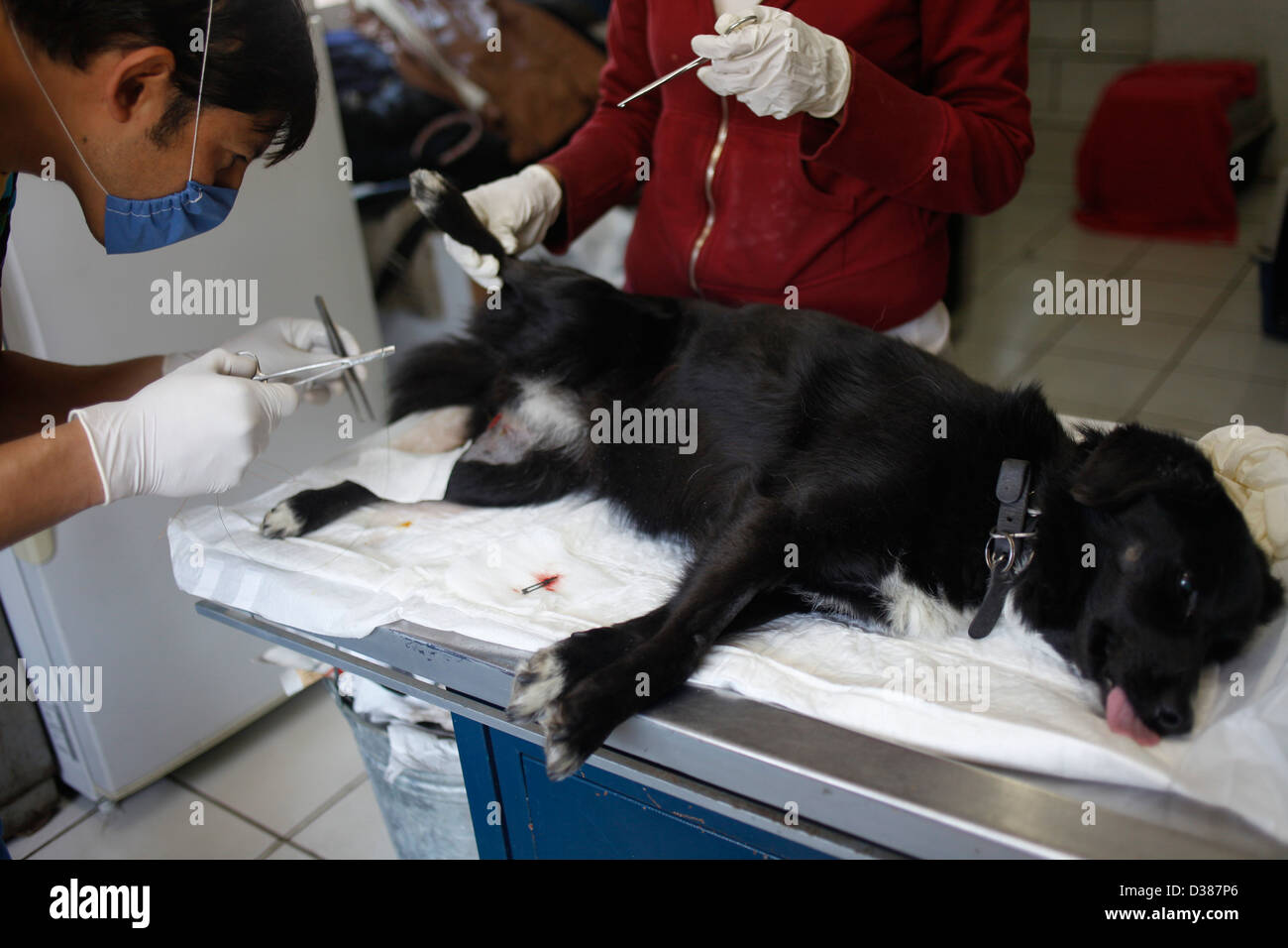 Vet treat a dog injuredat the 'Milagros Caninos,' or Canine Miracles dog sanctuary in Xochimilco, - Stock Image