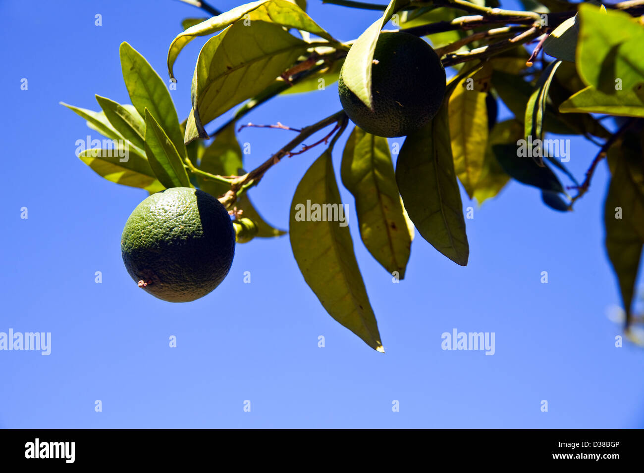 Oranges growing in Cordoba, Andalucia, Spain - Stock Image