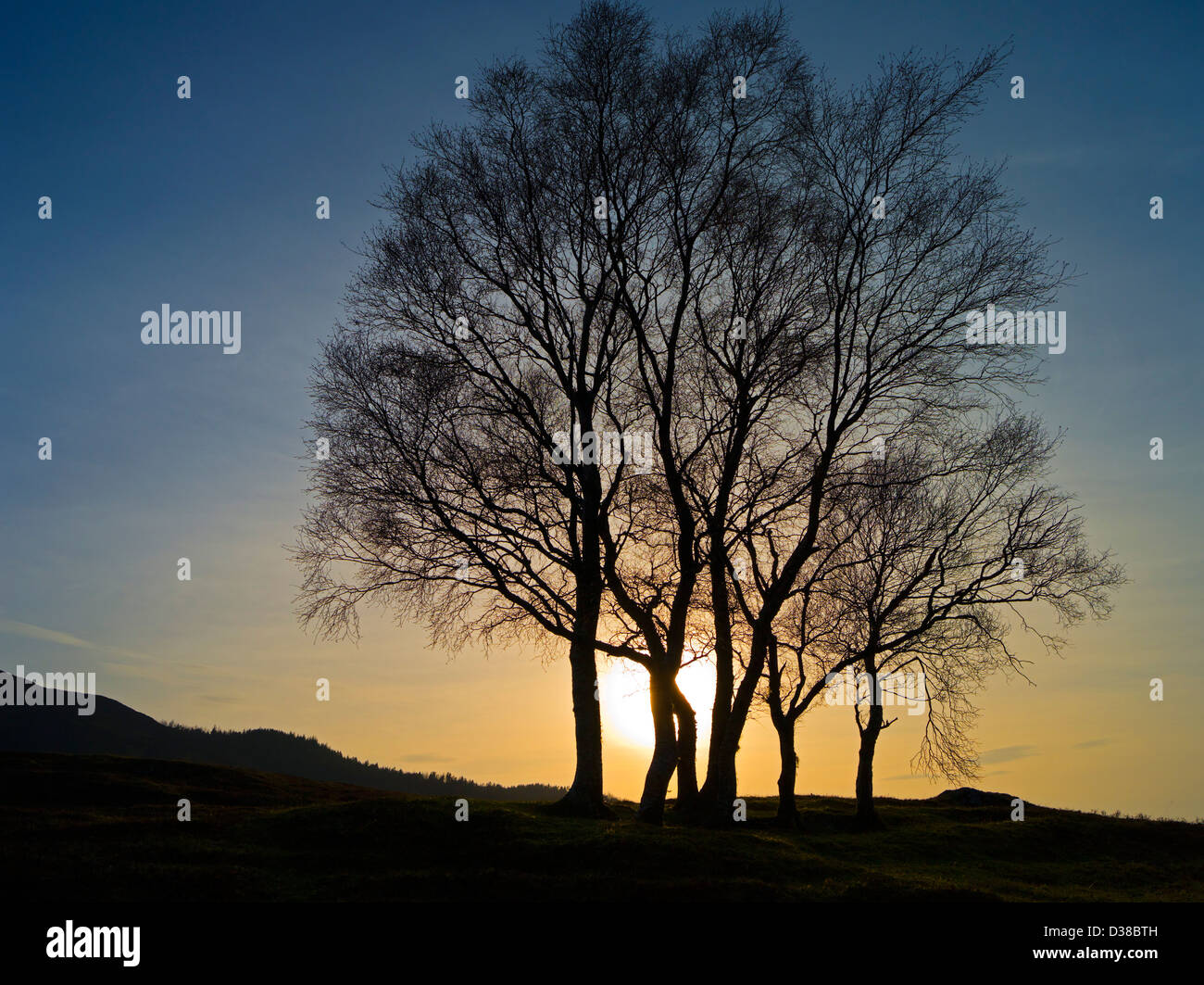 Group of birch-trees in bare winter condition above Strath Tummel, Scottish Highlands - Stock Image