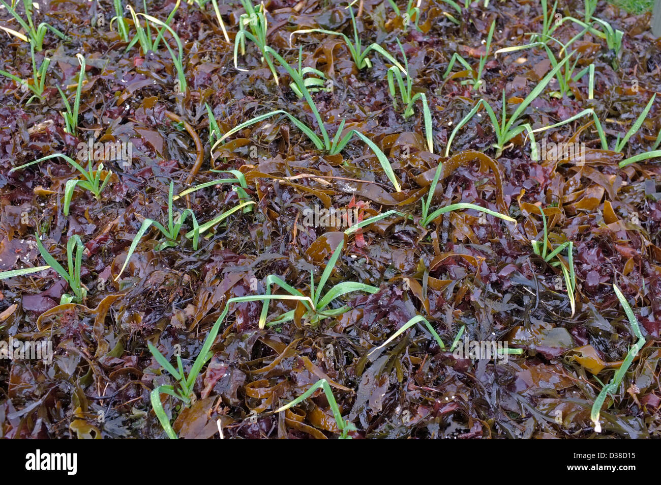 Autumn sown Garlic with a mulch of seaweed Stock Photo