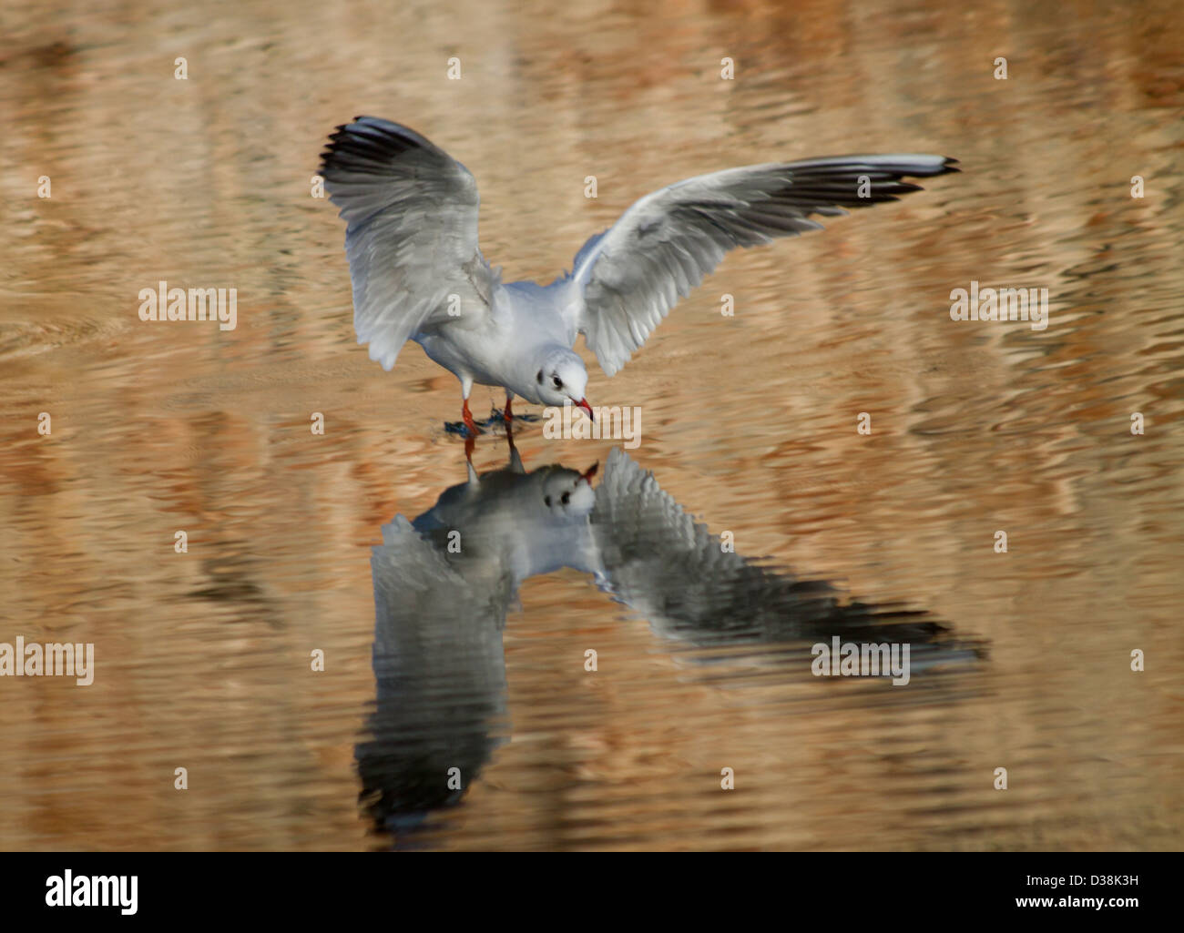 Black-headed Gull and its reflection as it lands on water at the Bishop's Palace Moat in Wells, Somerset Stock Photo