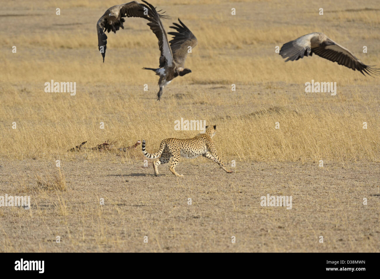 Cheetah chasing off vultures from a wildebeest kill in the grasslands of Masai Mara in Kenya, Africa - Stock Image