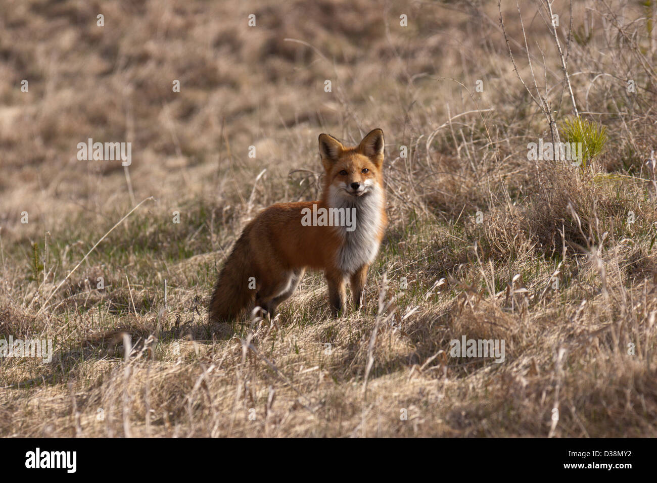 ref fox mammal cute wild country - Stock Image