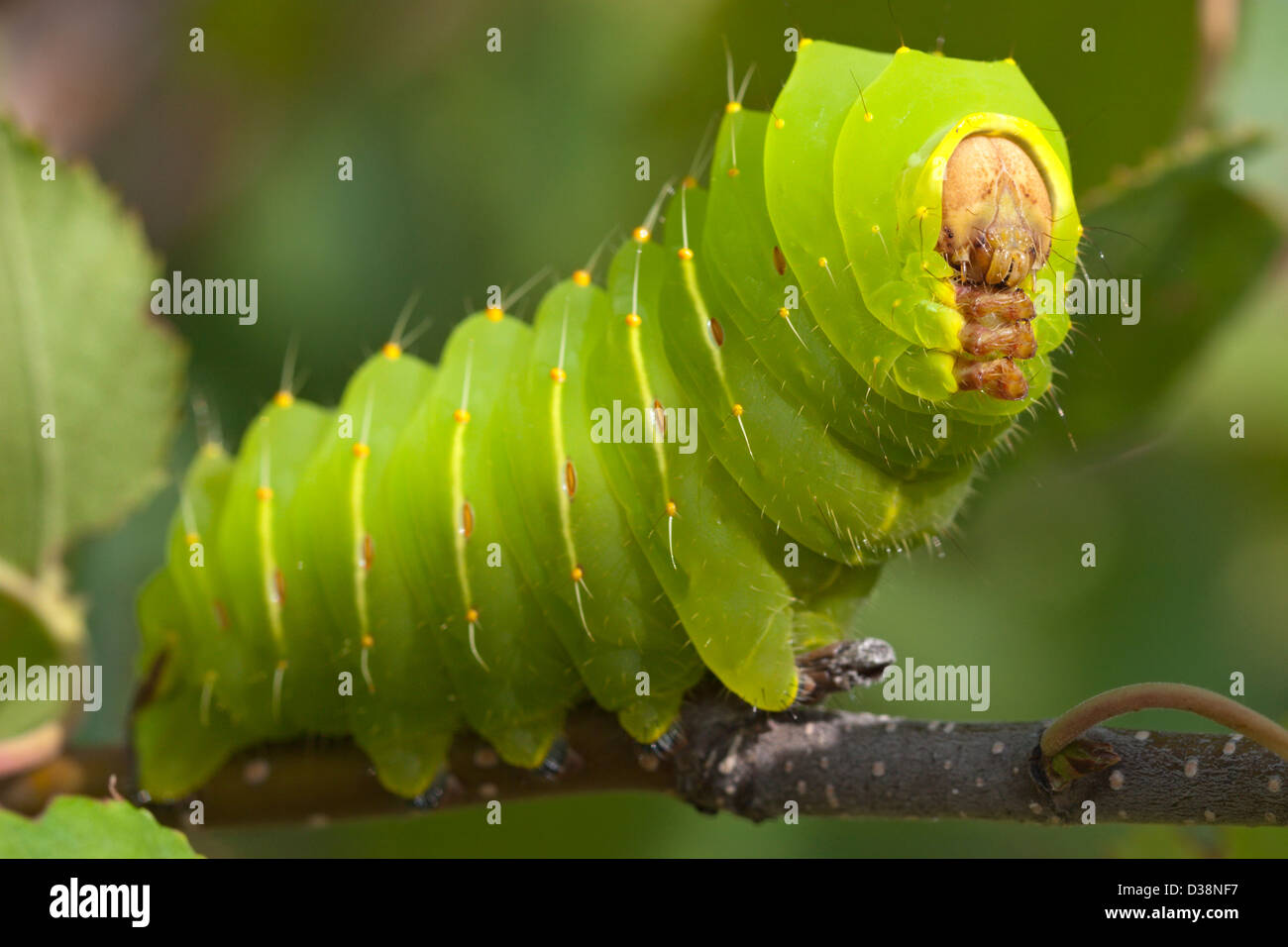 Insect Luna Moth Caterpillar Grub Green Stock Photo  53667579