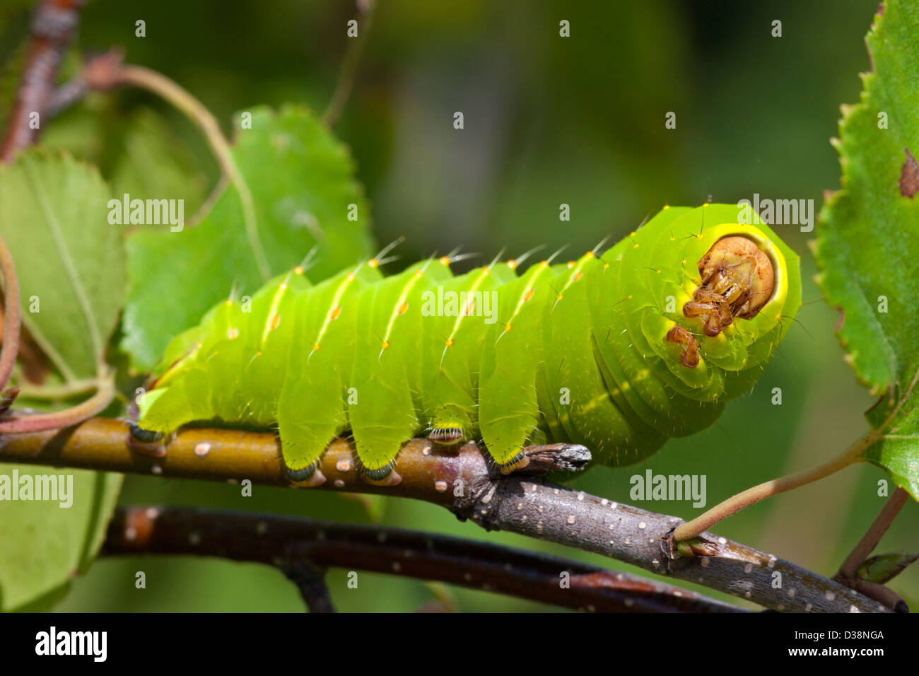 Insect Luna Moth Caterpillar Grub Green Stock Photo  53667610