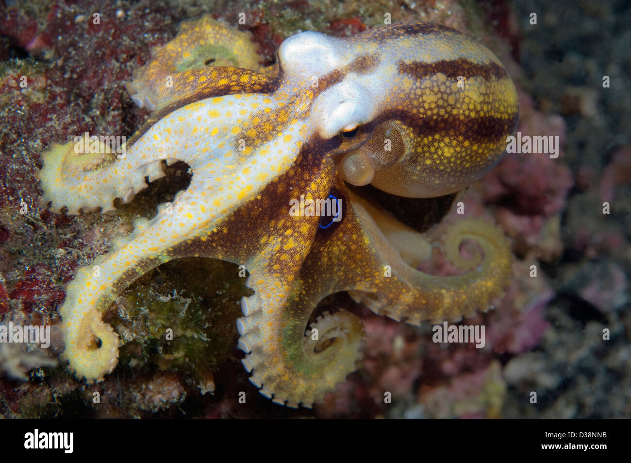 A Poison Ocellate Octopus in Lembeh Strait, North Sulawesi. - Stock Image