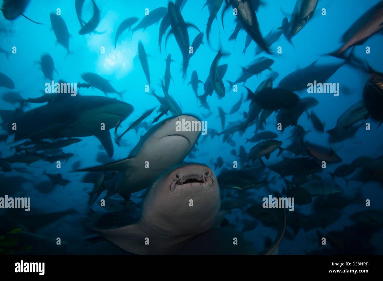 Bull sharks hunting in school of fish - Stock Image
