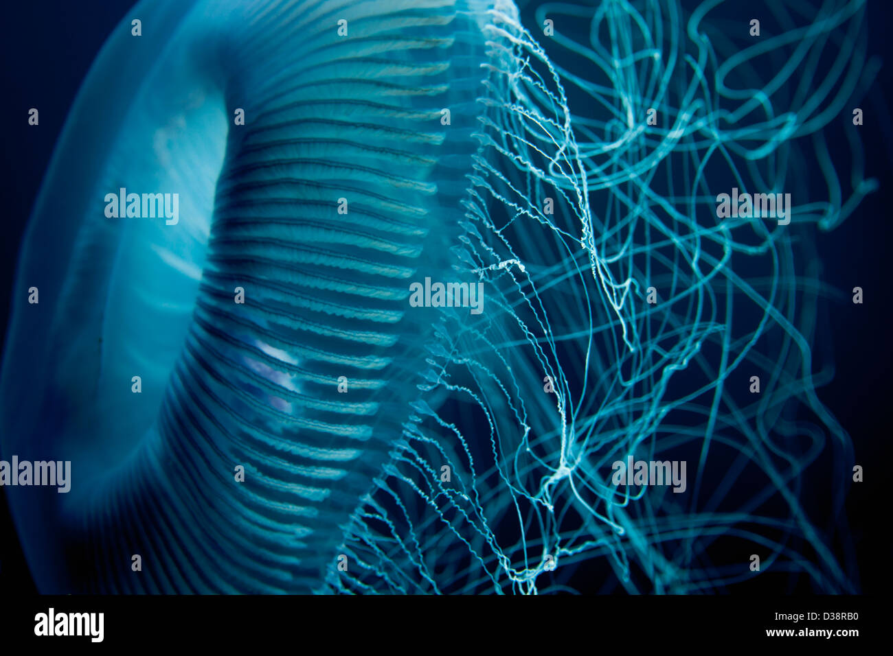 Close up of jellyfish underwater - Stock Image