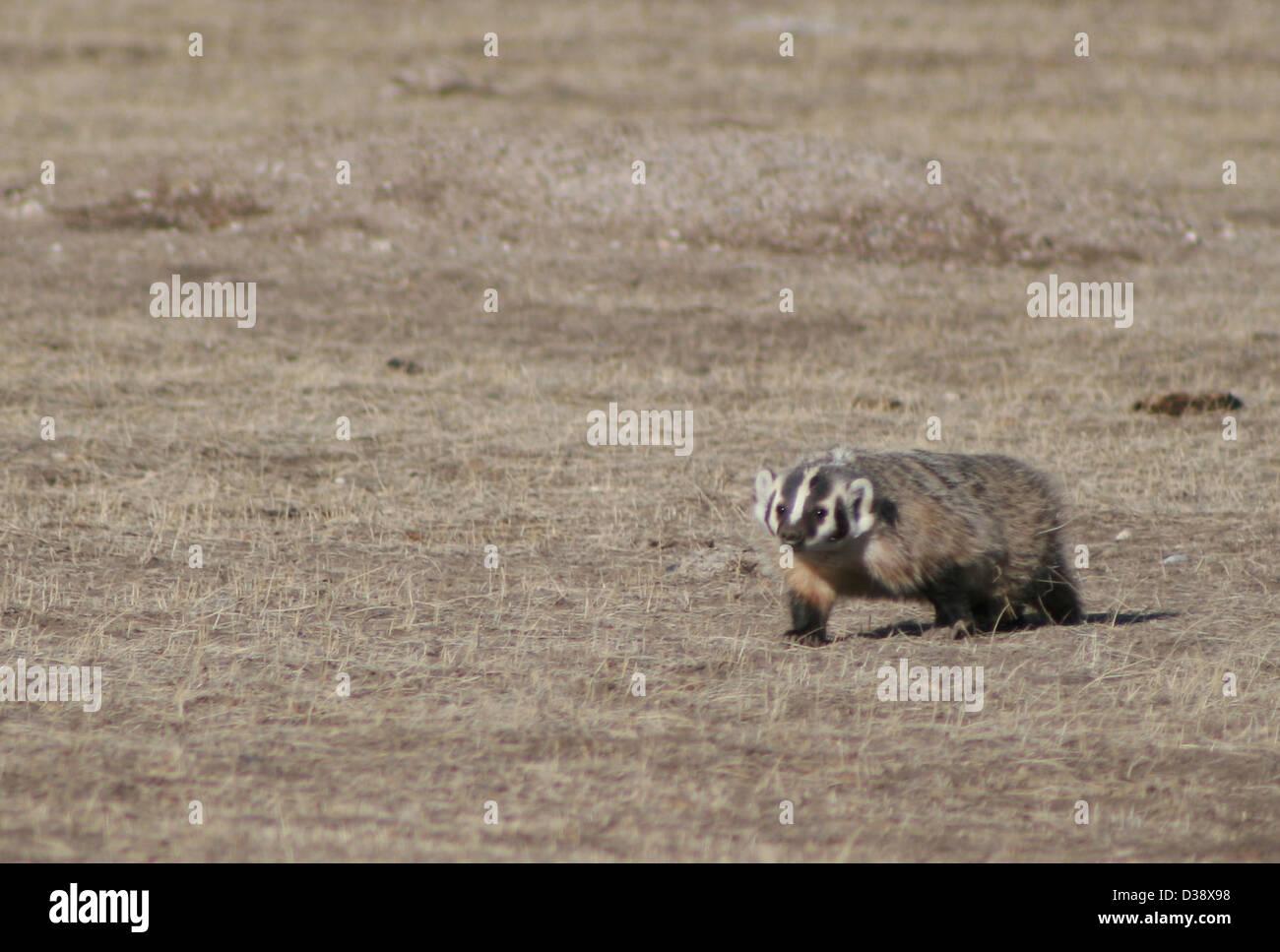Badger At Roberts Prairie Dog Town Stock Photo 53671332 Alamy