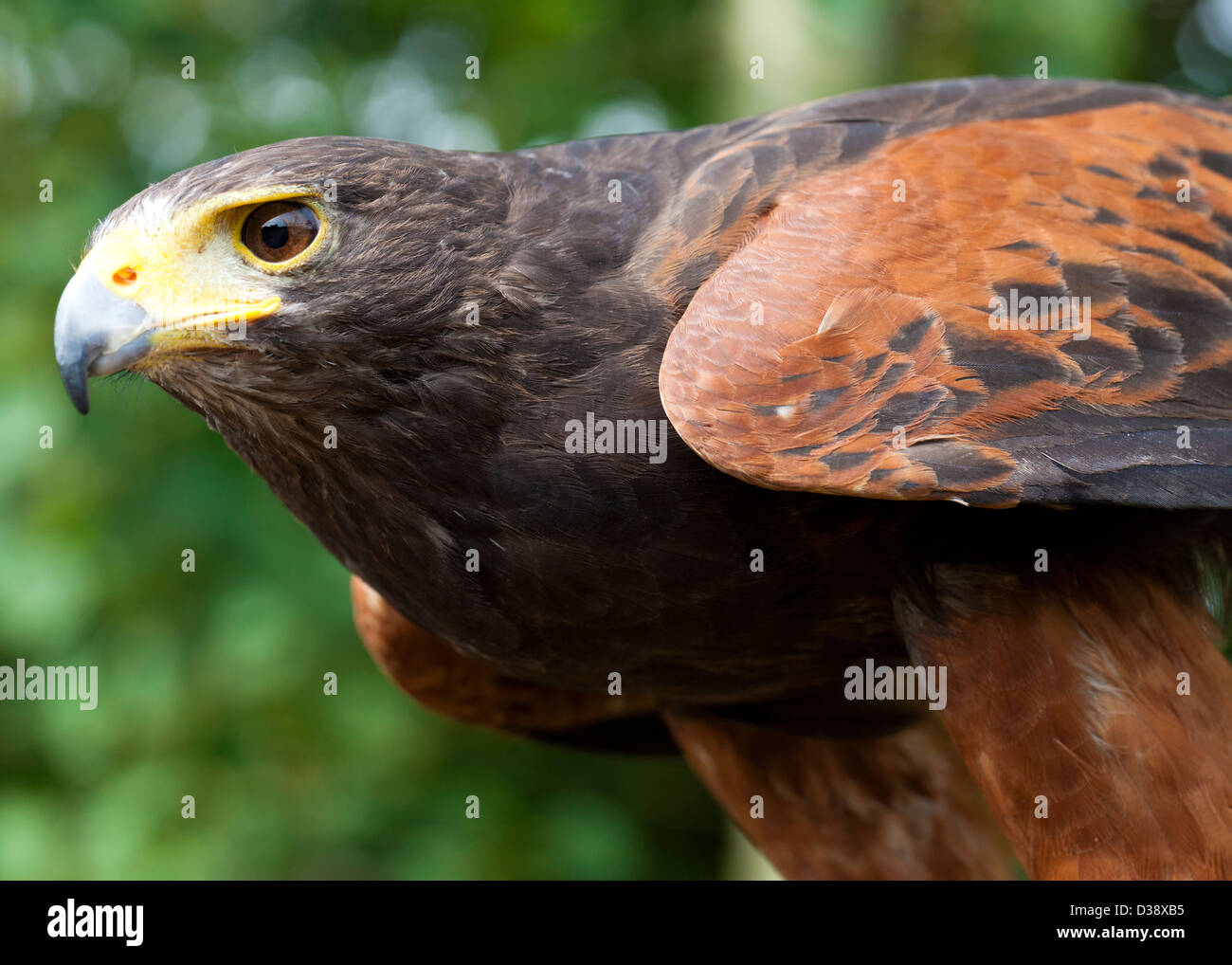 the harris hawk parabuteo unicinctus waiting to pounce D38XB5