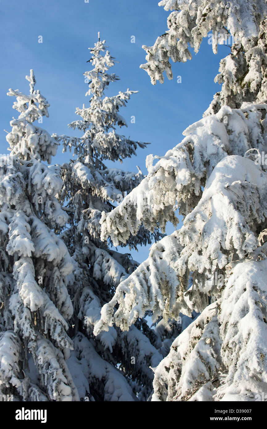 Branches of spruce trees in pine forest covered in white hoar frost and snow in winter - Stock Image