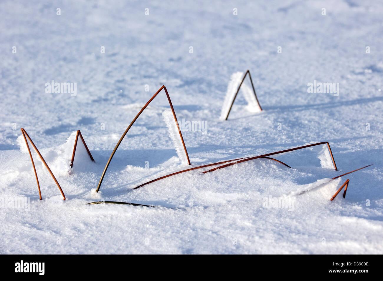 Hoar frost on broken grass stems in moorland in the snow in winter - Stock Image