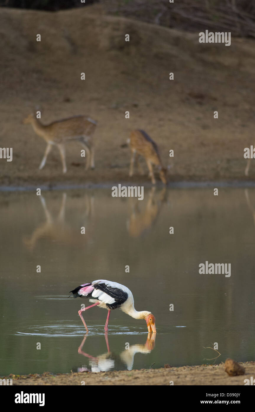 Painted Stork (Mycteria leucocephala) fishing in a waterhole with two female deer behind, Yala National Park, Sri - Stock Image