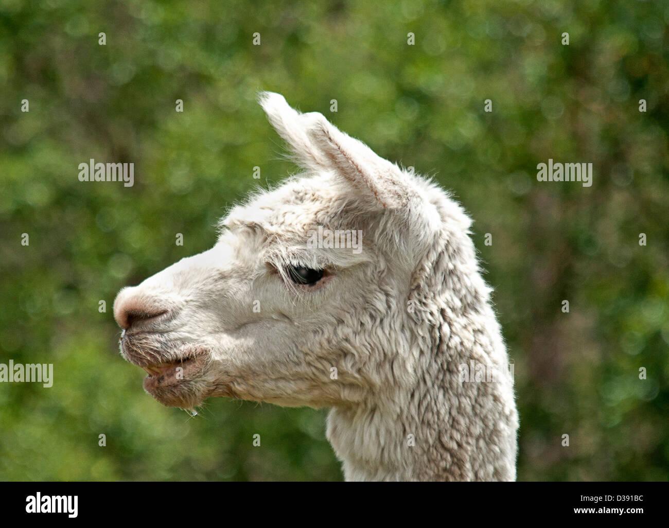 Face of white Suri alpaca against dark green background - Stock Image