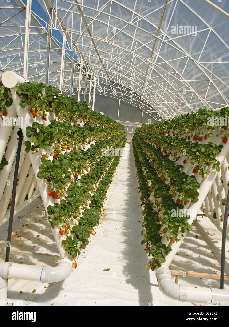 Rows of ripe red strawberries and foliage of plants growing in greenhouse in an extensive hydroponic system on a - Stock Image