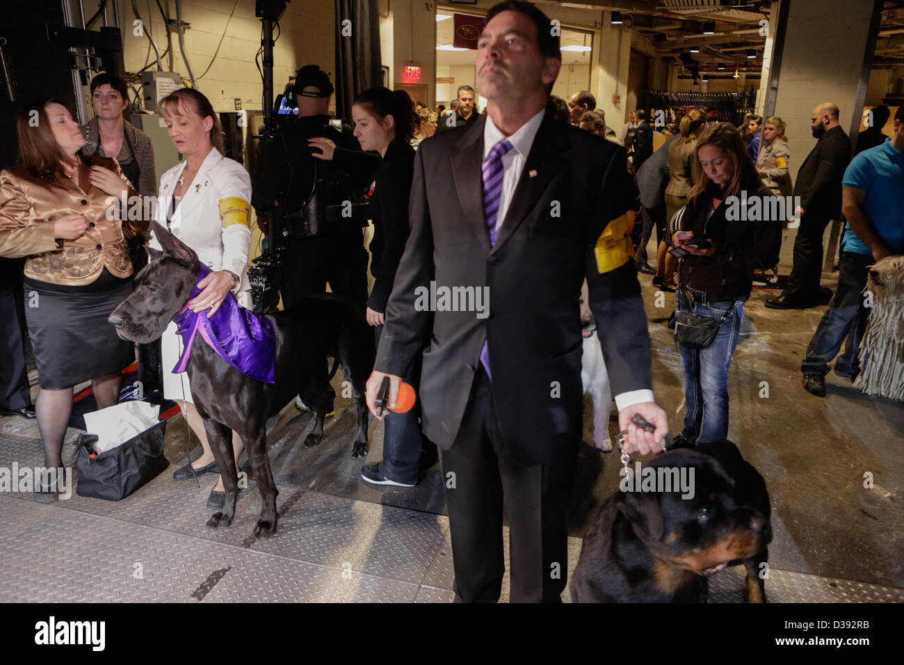 New York City, US, 12 February 2013. Working dogs and their handlers wait in the wings at the 137th annual Westminster Stock Photo