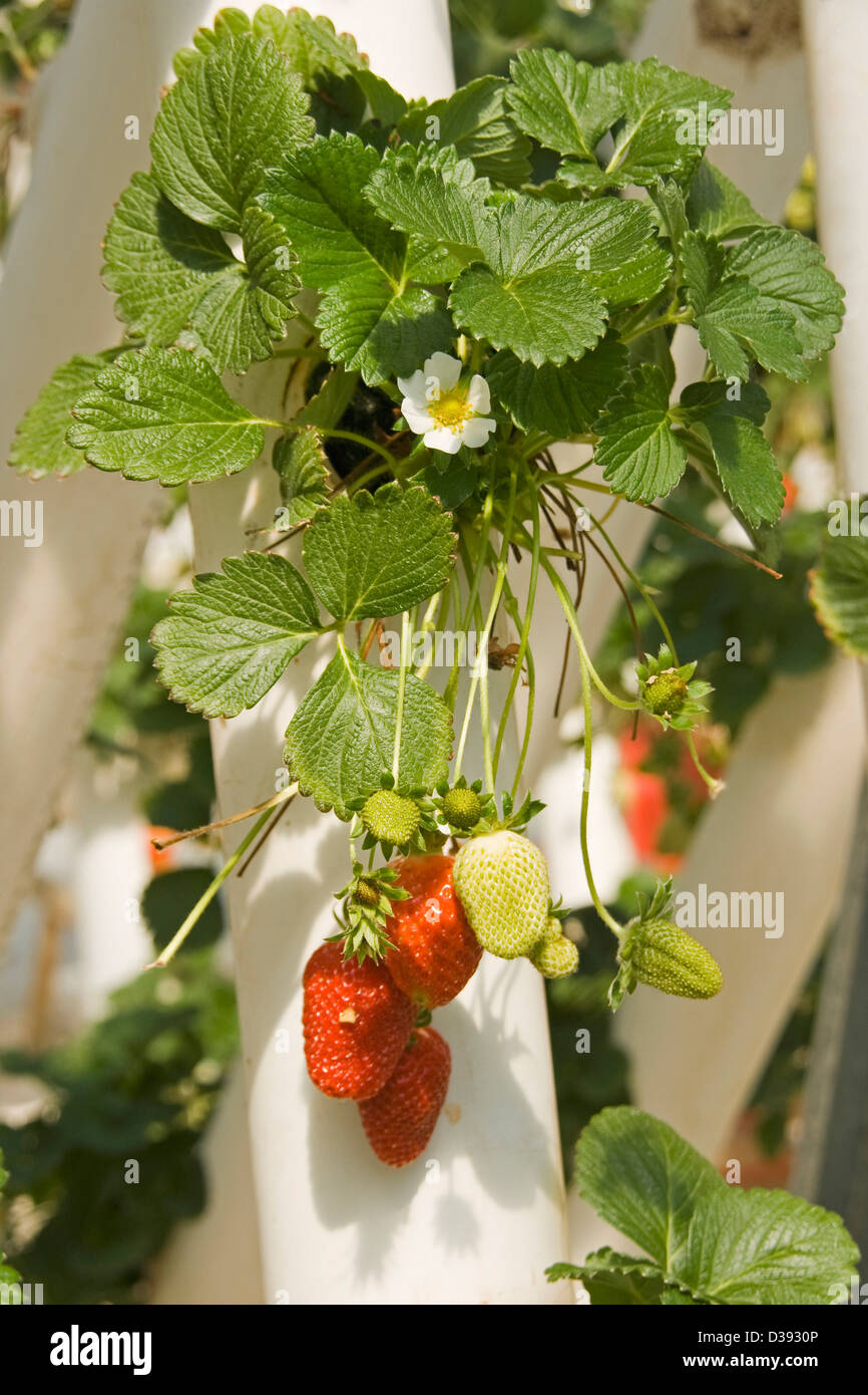 Bunch of ripe red strawberries with flowers and foliage growing in a hydroponic system on a commercial farm - Stock Image